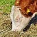cow 3403875